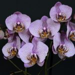 orchid child psychology