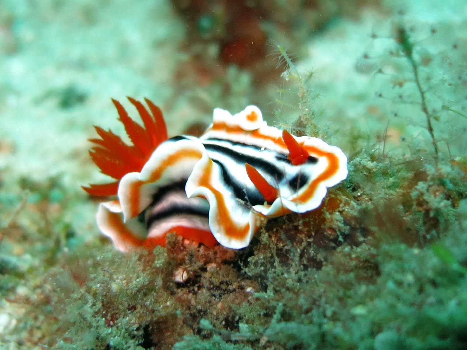 nudibranch diving philippines