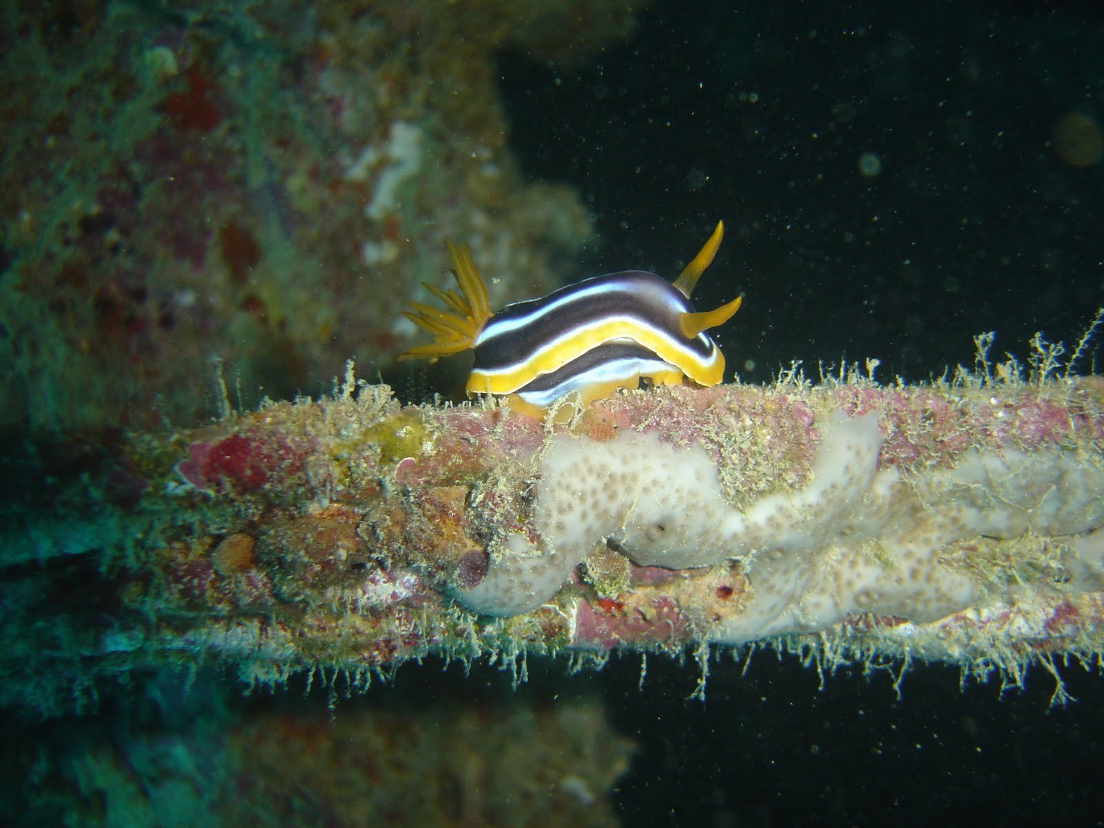 nudibranch diving red sea egypt