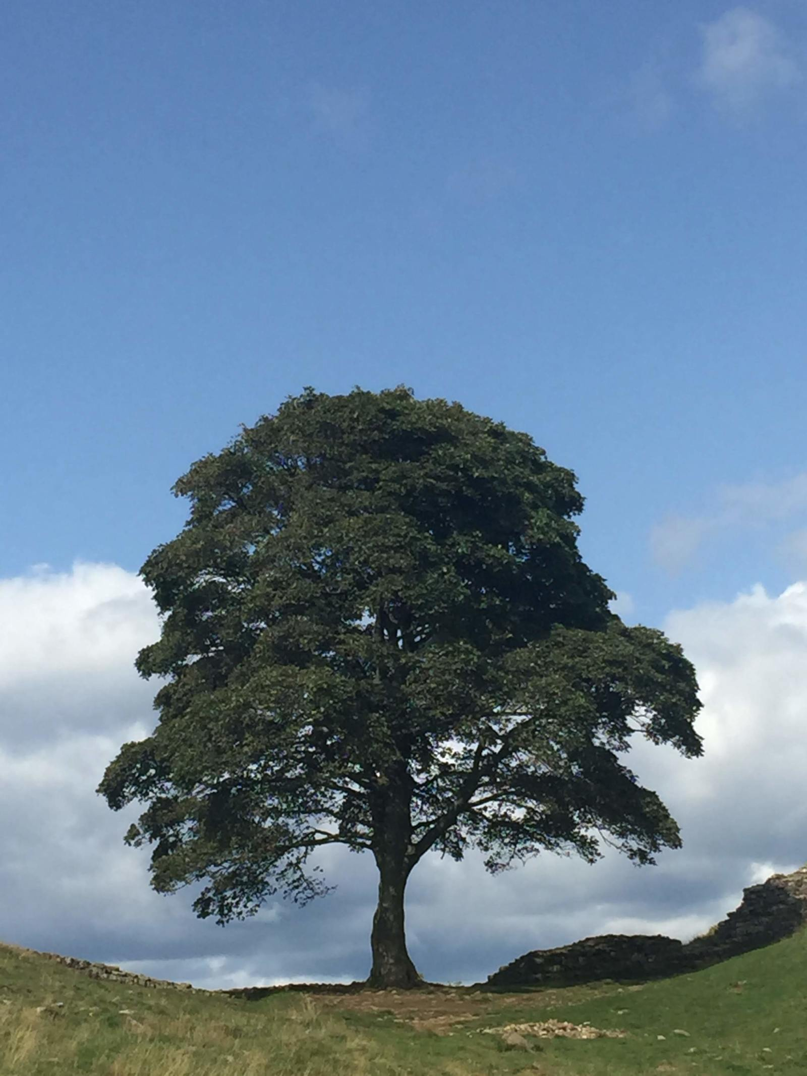 the most famous tree in the world at sycamore gap
